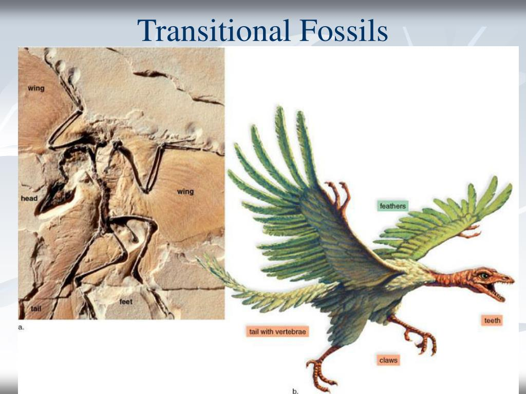 Transitional Fossils