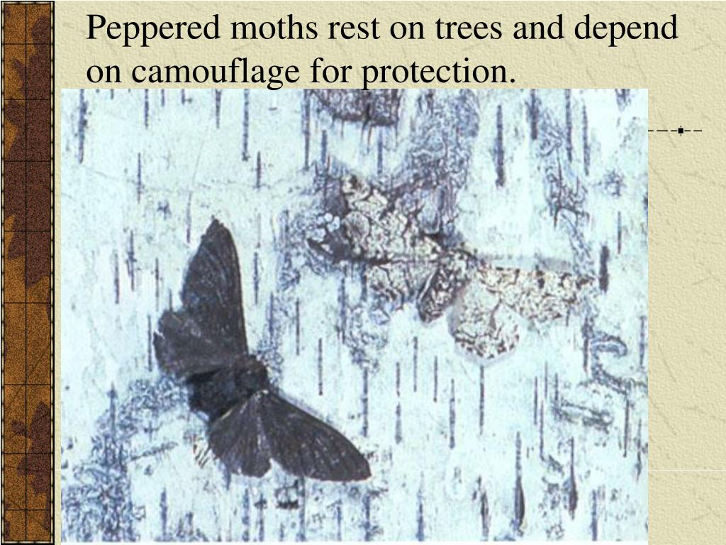 Peppered moths rest on trees and depend