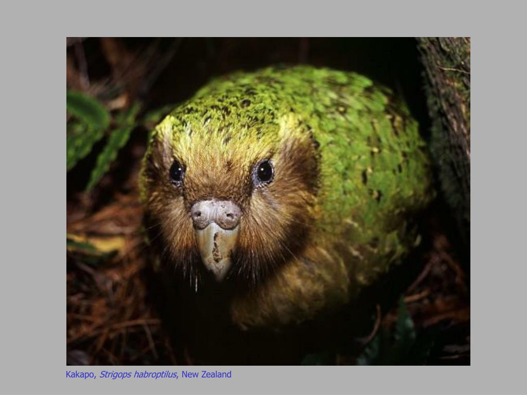 Kakapo,