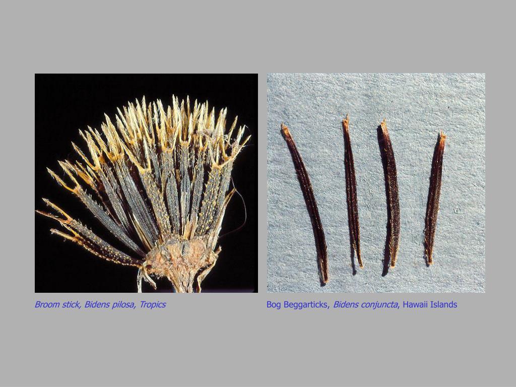 Broom stick, Bidens pilosa, Tropics