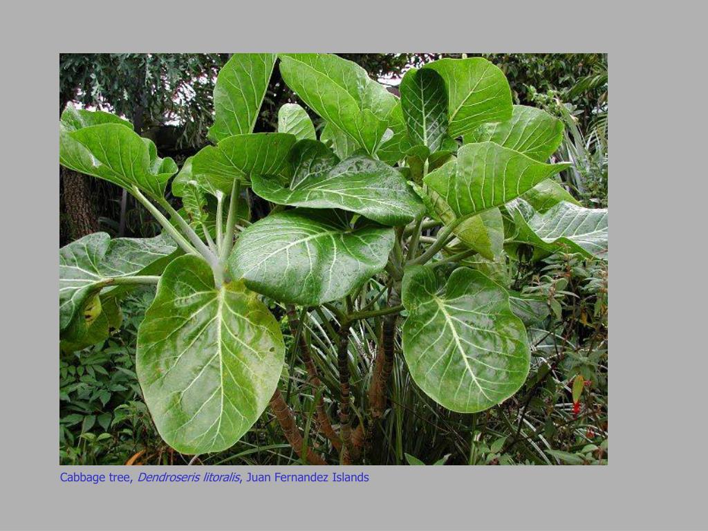 Cabbage tree,