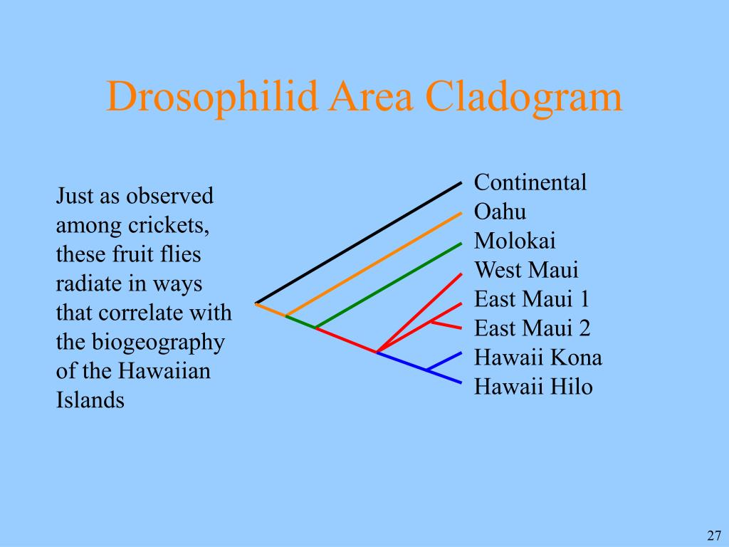 Drosophilid Area Cladogram