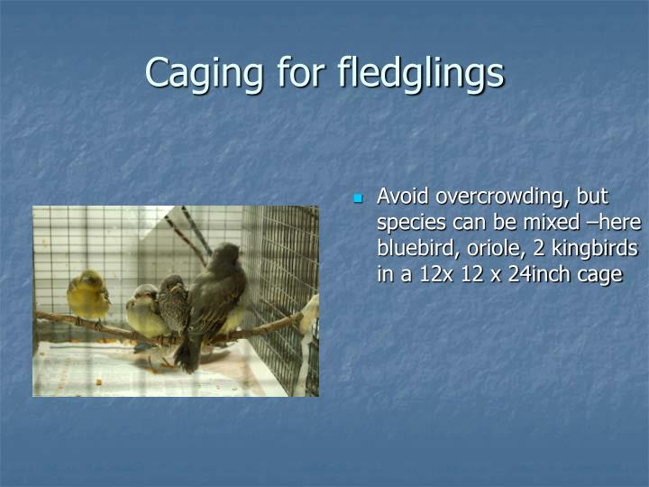 Caging for fledglings