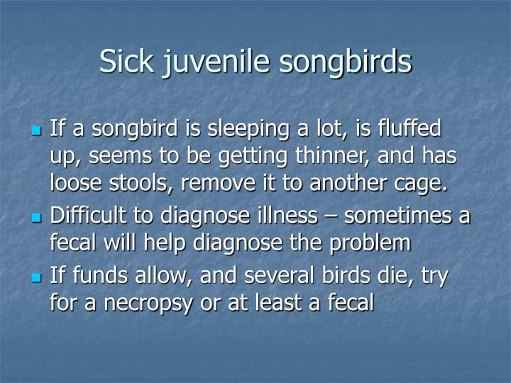 Sick juvenile songbirds