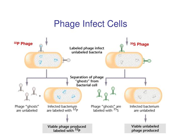 Phage Infect Cells