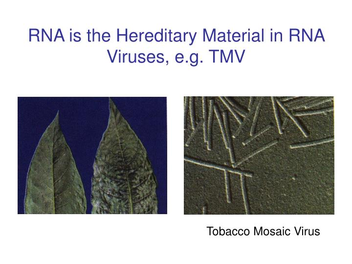RNA is the Hereditary Material in RNA Viruses, e.g. TMV