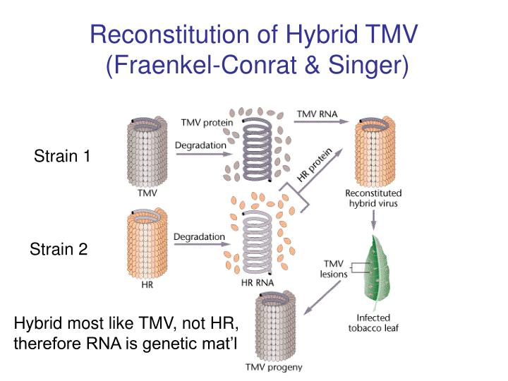 Reconstitution of Hybrid TMV