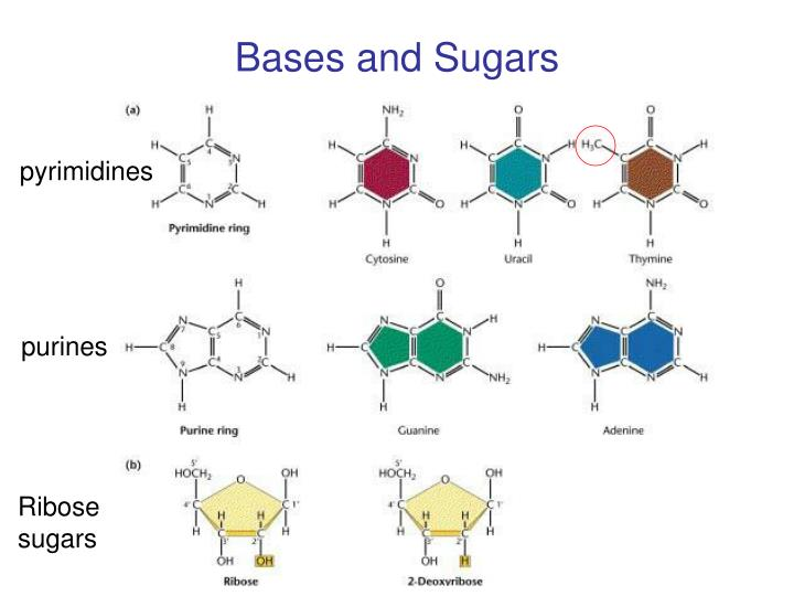 Bases and Sugars