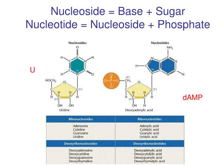 Nucleoside = Base + Sugar