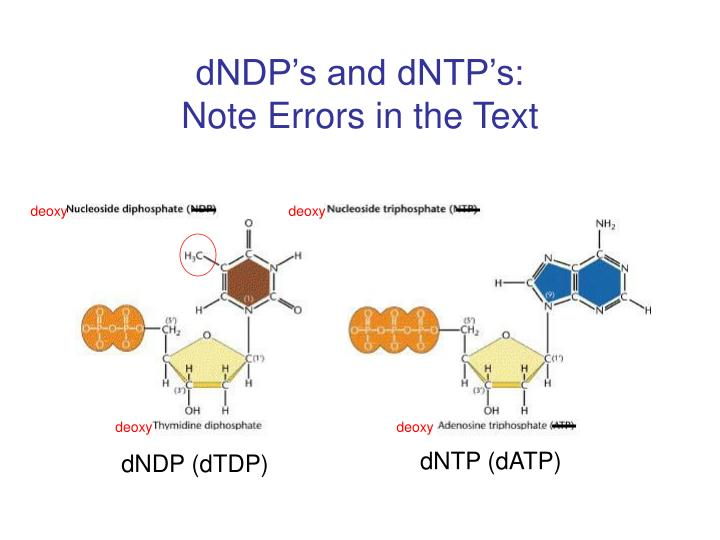 dNDP's and dNTP's: