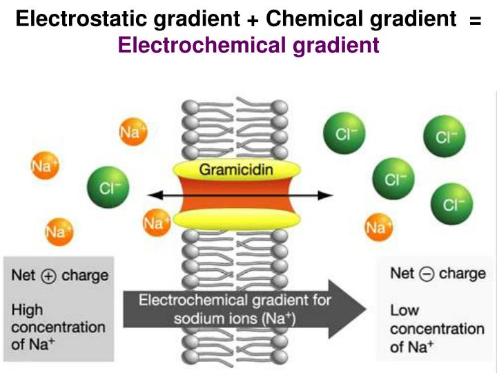 Electrostatic gradient + Chemical gradient  =
