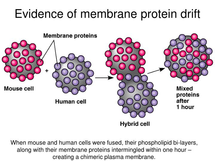 Evidence of membrane protein drift