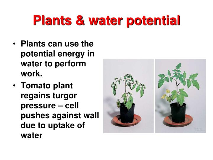 Plants & water potential