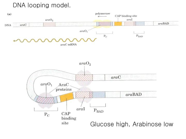 DNA looping model.