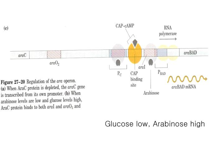 Glucose low, Arabinose high