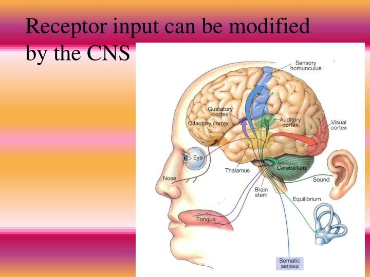 Receptor input can be modified by the CNS