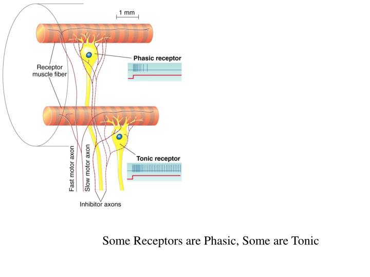 Some Receptors are Phasic, Some are Tonic