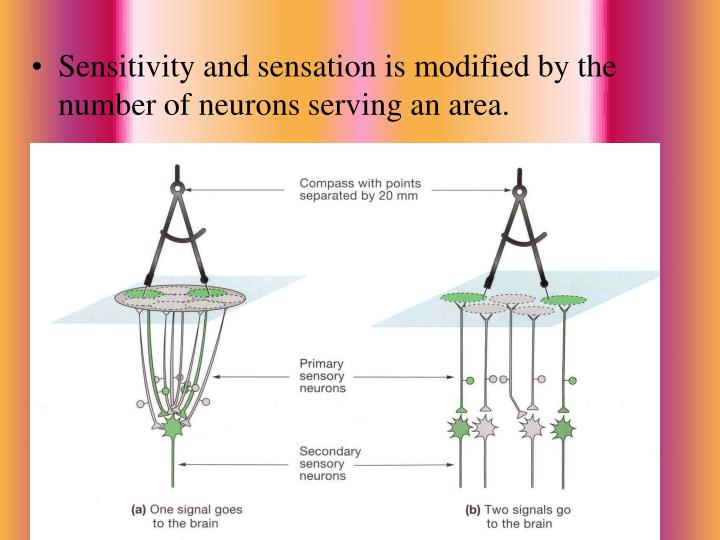 Sensitivity and sensation is modified by the number of neurons serving an area.