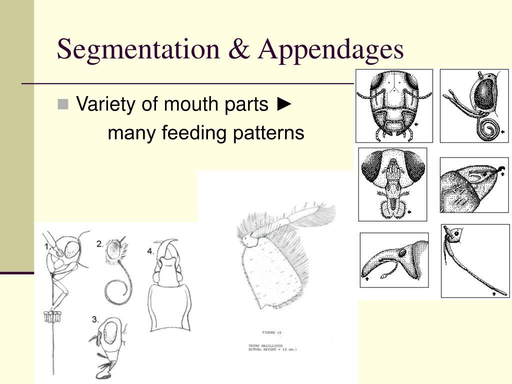 Segmentation & Appendages