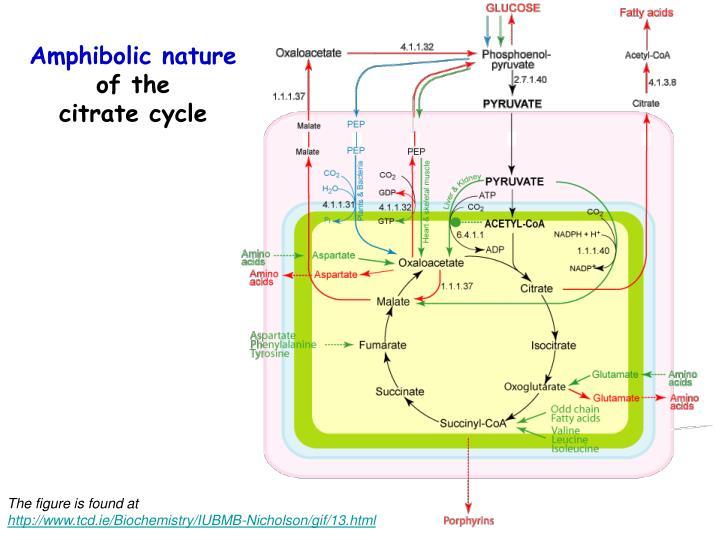 Amphibolic nature