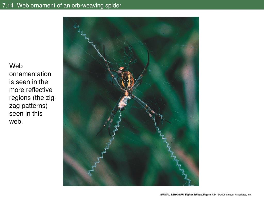 7.14  Web ornament of an orb-weaving spider