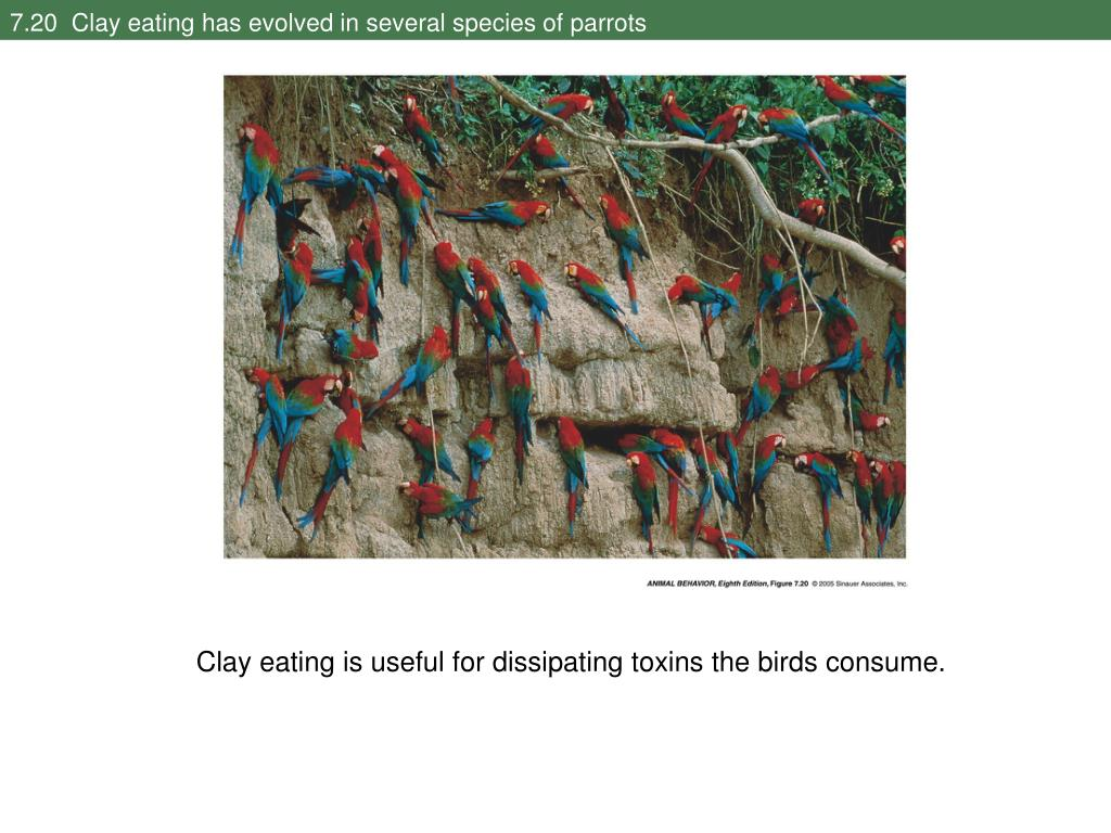 7.20  Clay eating has evolved in several species of parrots