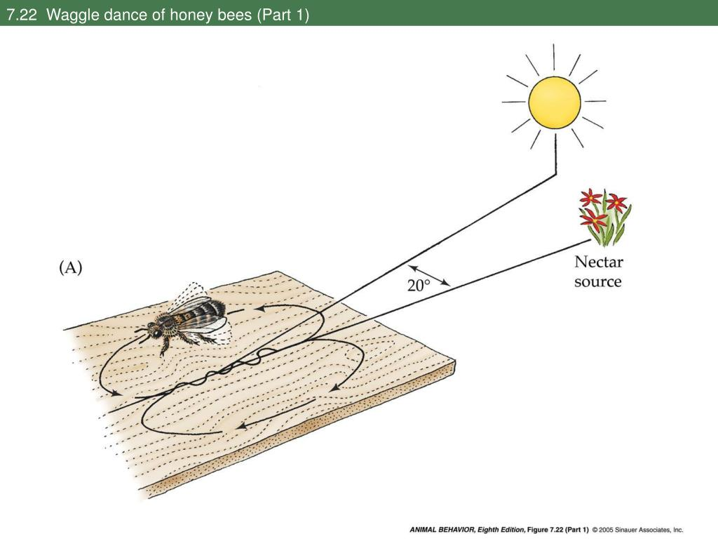 7.22  Waggle dance of honey bees (Part 1)