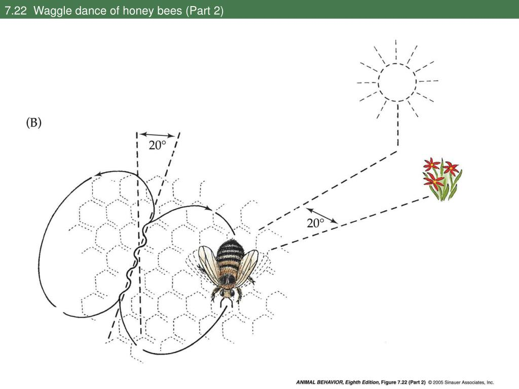 7.22  Waggle dance of honey bees (Part 2)