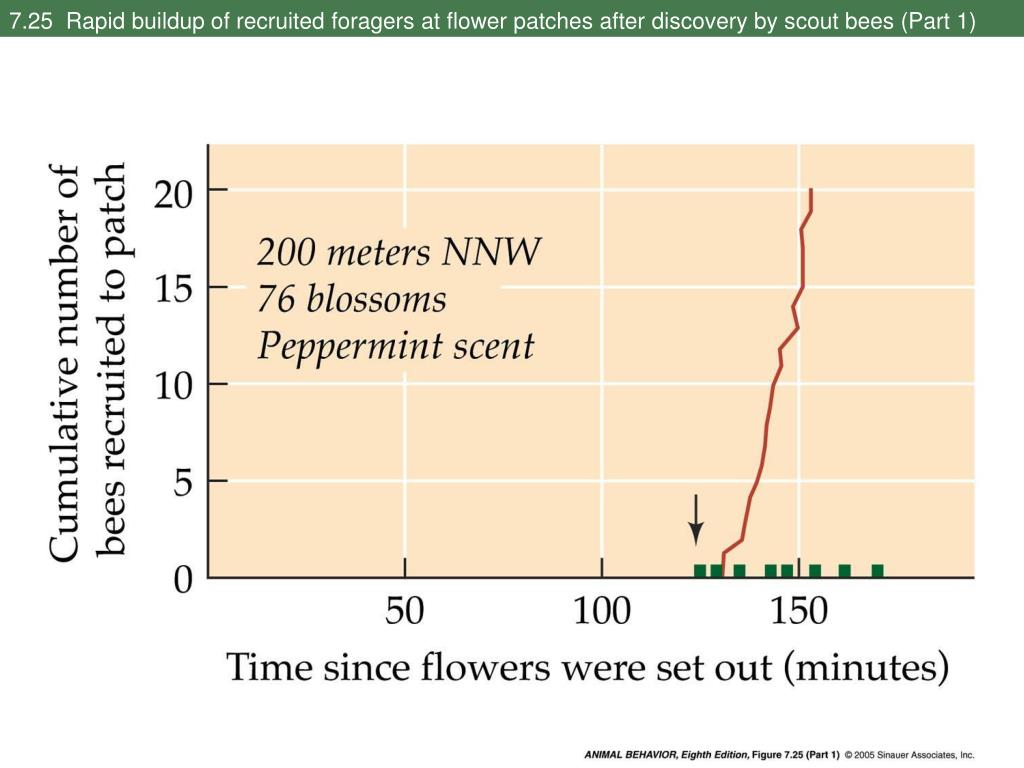 7.25  Rapid buildup of recruited foragers at flower patches after discovery by scout bees (Part 1)