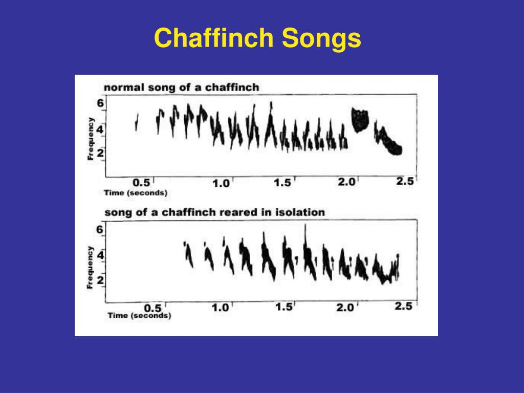 Chaffinch Songs