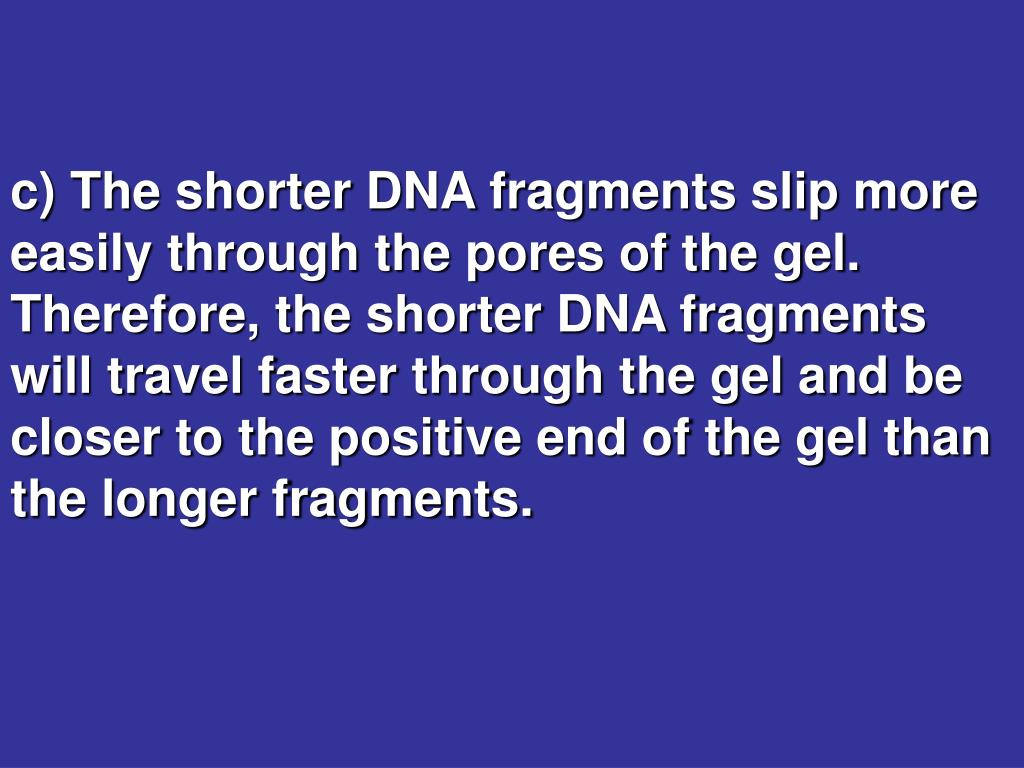 c) The shorter DNA fragments slip more easily through the pores of the gel.  Therefore, the shorter DNA fragments will travel faster through the gel and be closer to the positive end of the gel than the longer fragments.