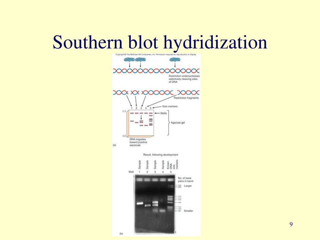 Southern blot hydridization