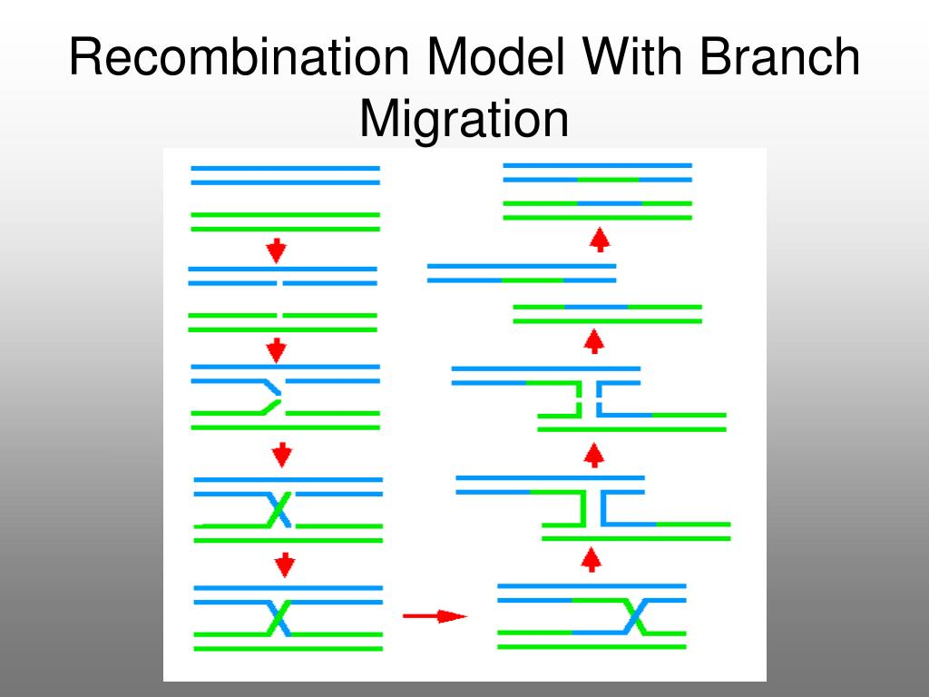 Recombination Model With Branch Migration