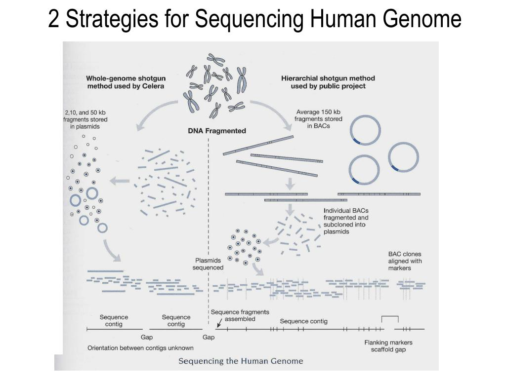 2 Strategies for Sequencing Human Genome