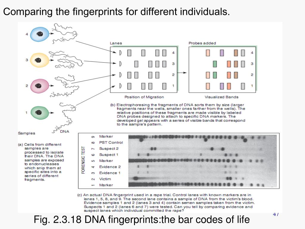 Comparing the fingerprints for different individuals.