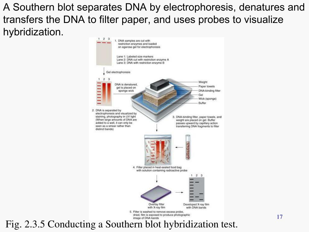 A Southern blot separates DNA by electrophoresis, denatures and transfers the DNA to filter paper, and uses probes to visualize hybridization.