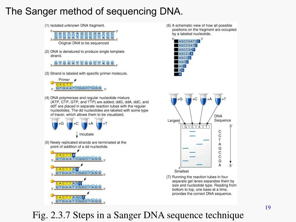 The Sanger method of sequencing DNA.