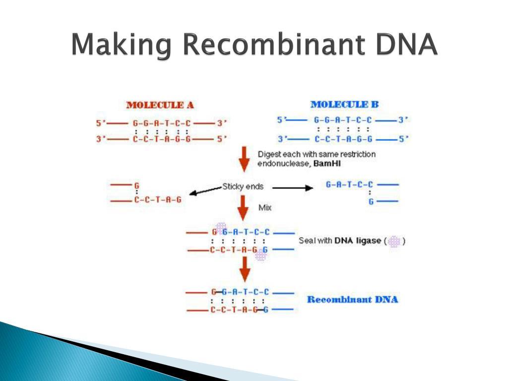 Making Recombinant DNA