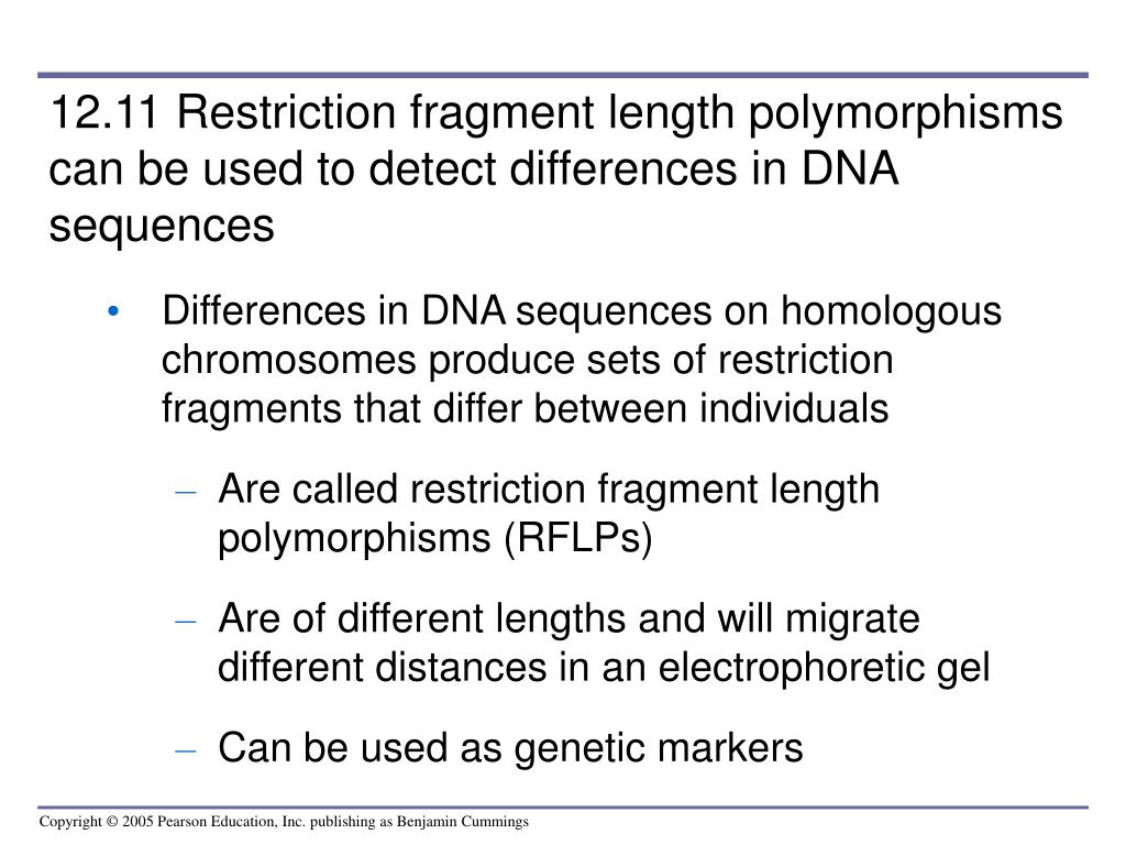12.11 Restriction fragment length polymorphisms can be used to detect differences in DNA sequences