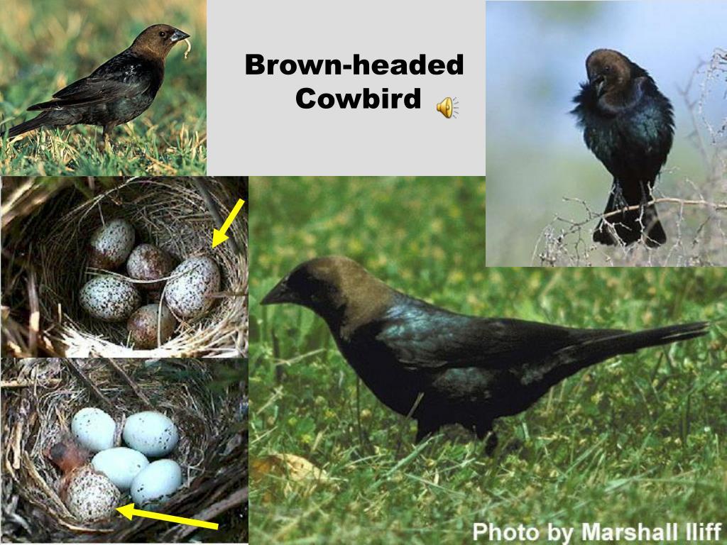 Brown-headed