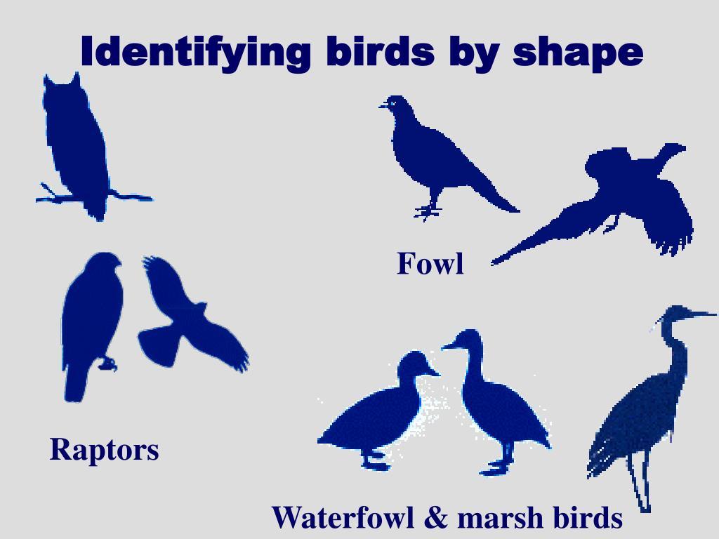 Identifying birds by shape