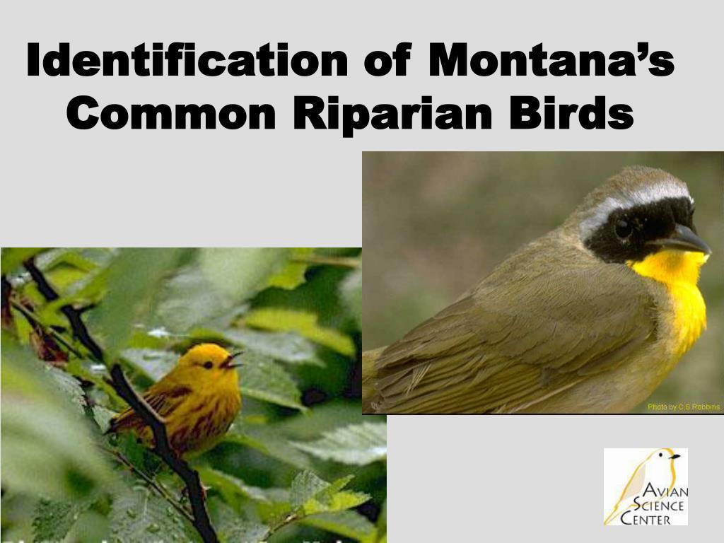 Identification of Montana's Common Riparian Birds