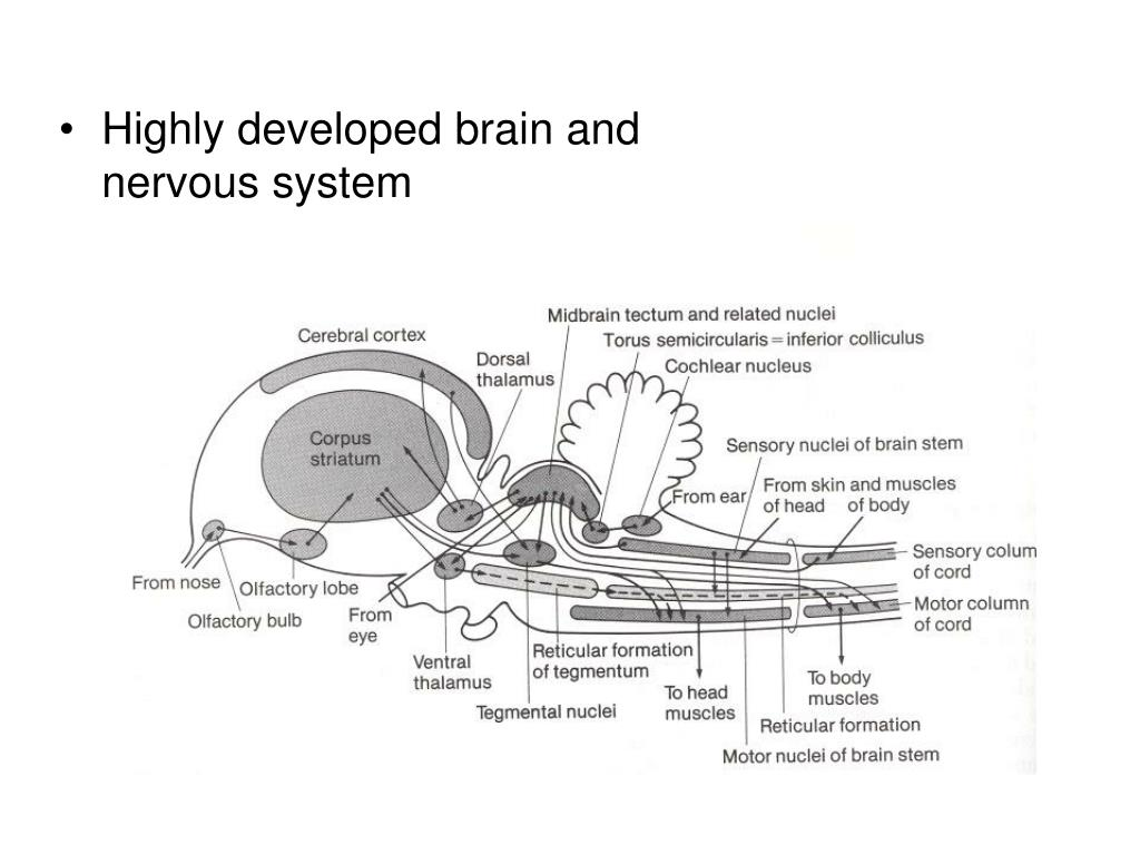 Highly developed brain and nervous system