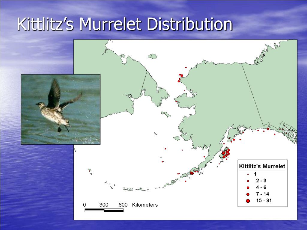 Kittlitz's Murrelet Distribution
