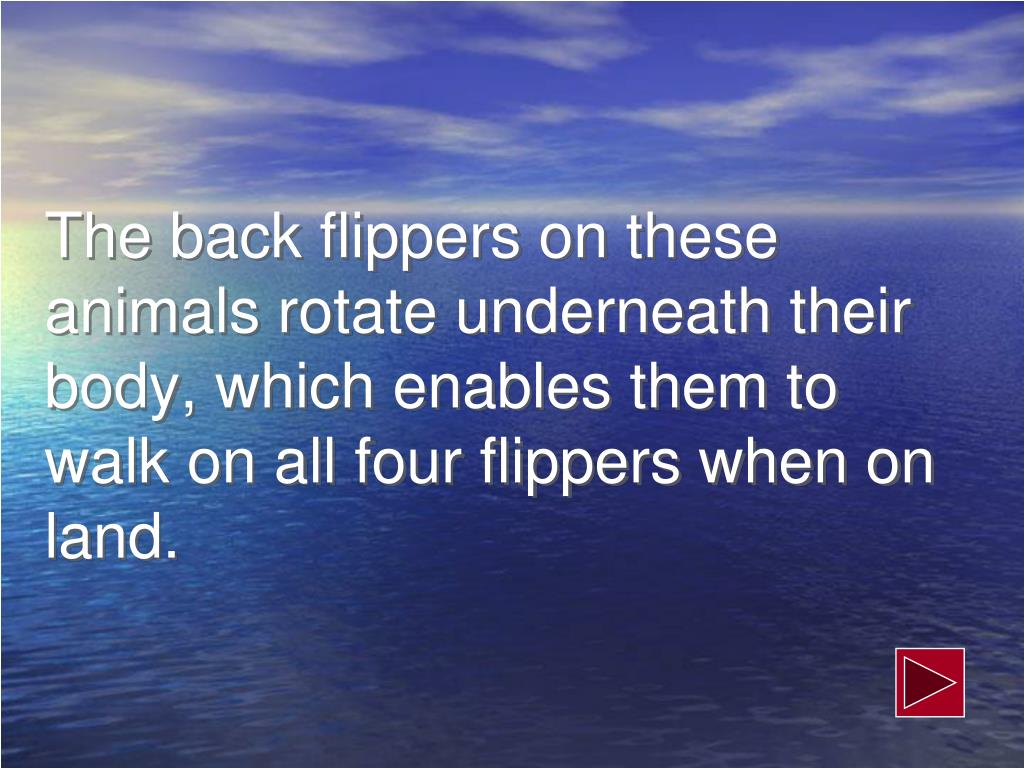 The back flippers on these animals rotate underneath their body, which enables them to walk on all four flippers when on land.