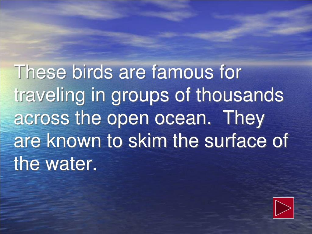These birds are famous for traveling in groups of thousands across the open ocean.  They are known to skim the surface of the water.