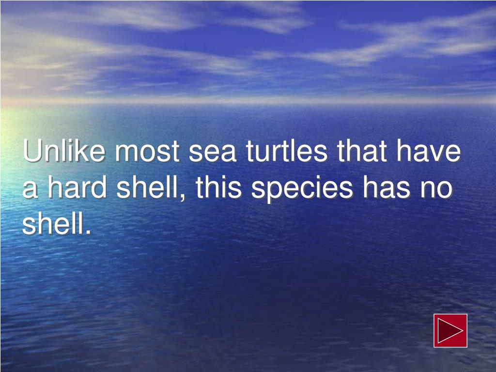 Unlike most sea turtles that have a hard shell, this species has no shell.