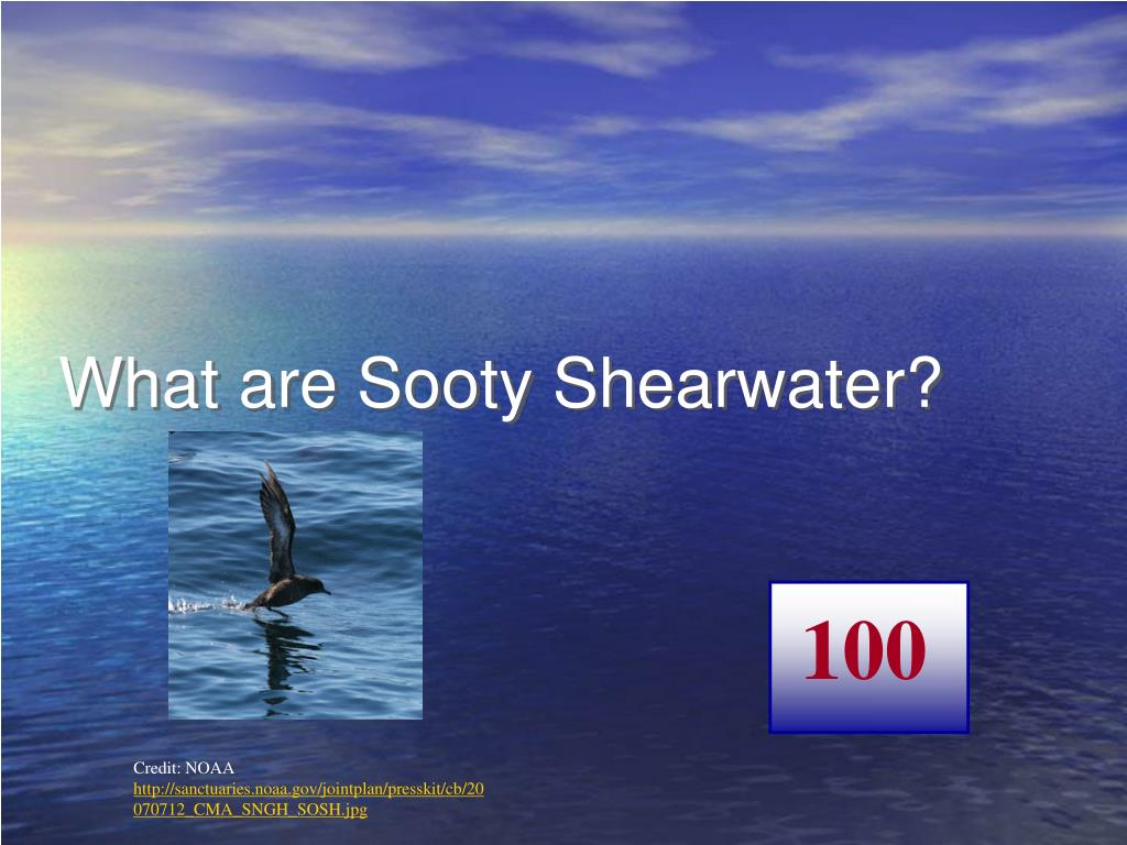 What are Sooty Shearwater?