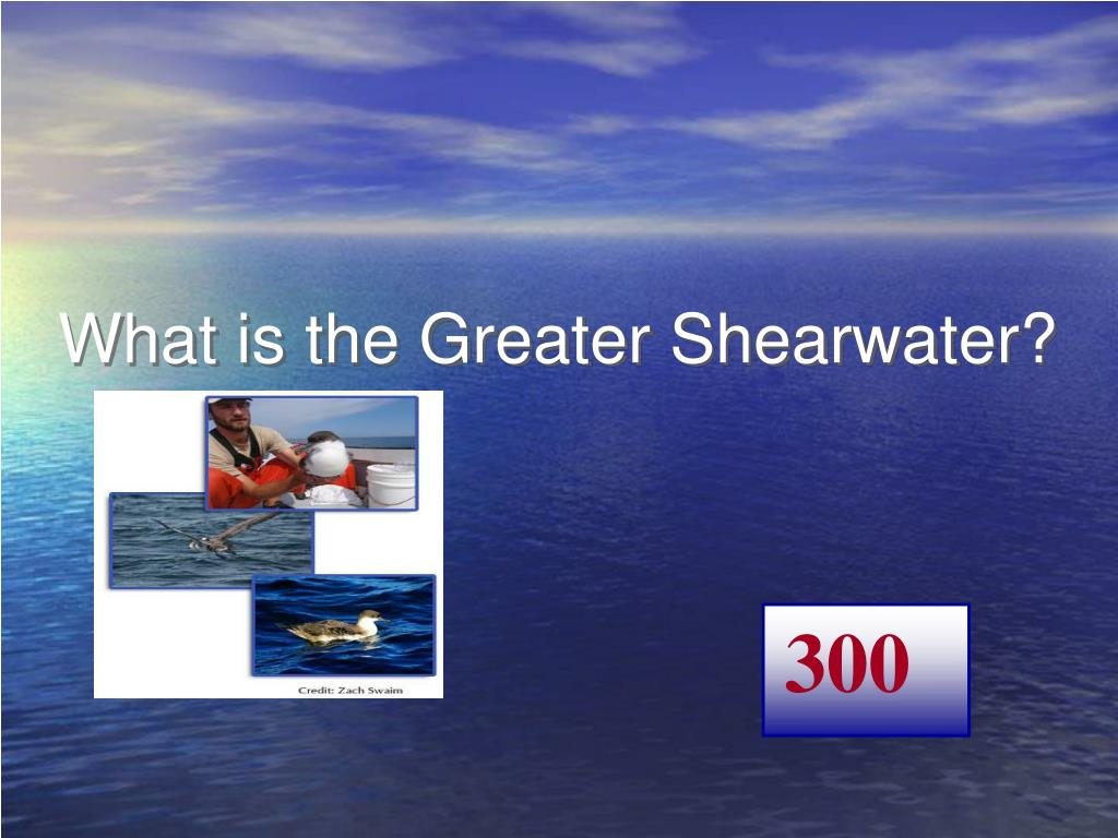 What is the Greater Shearwater?