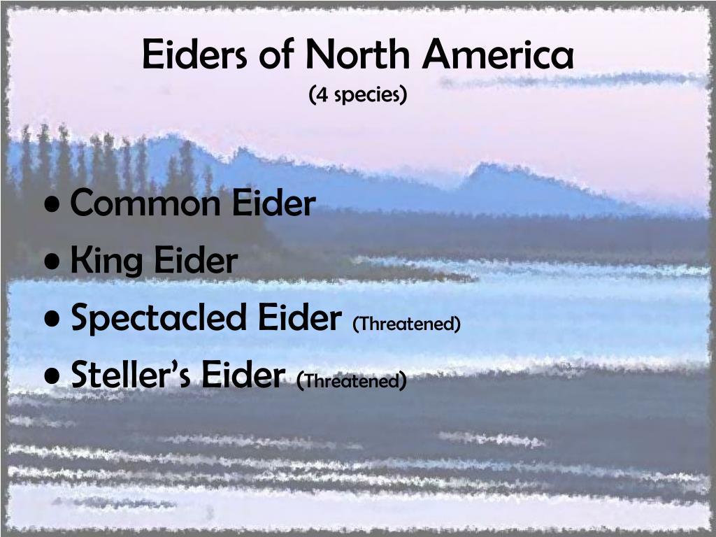 Eiders of North America